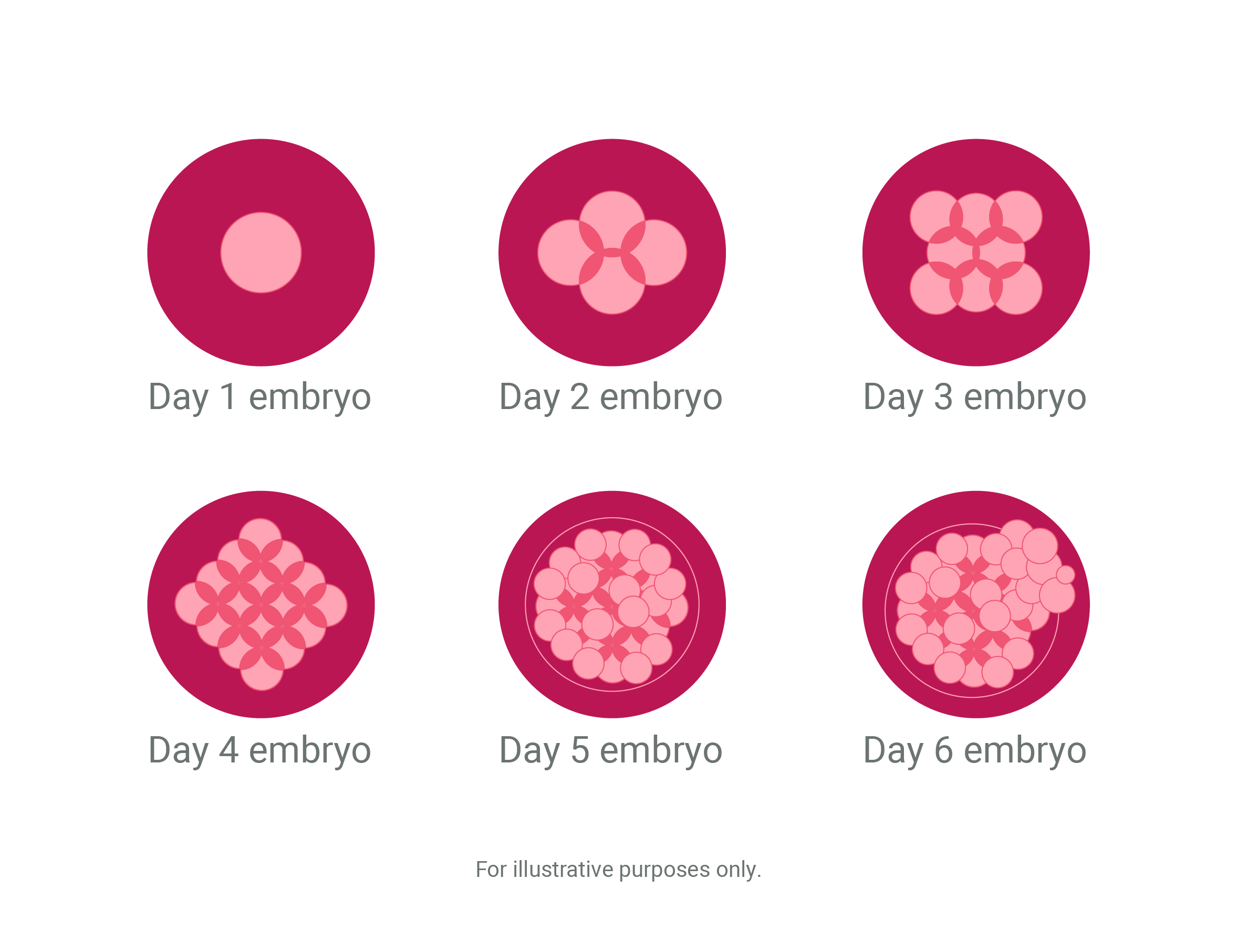 Phases of cells illustration