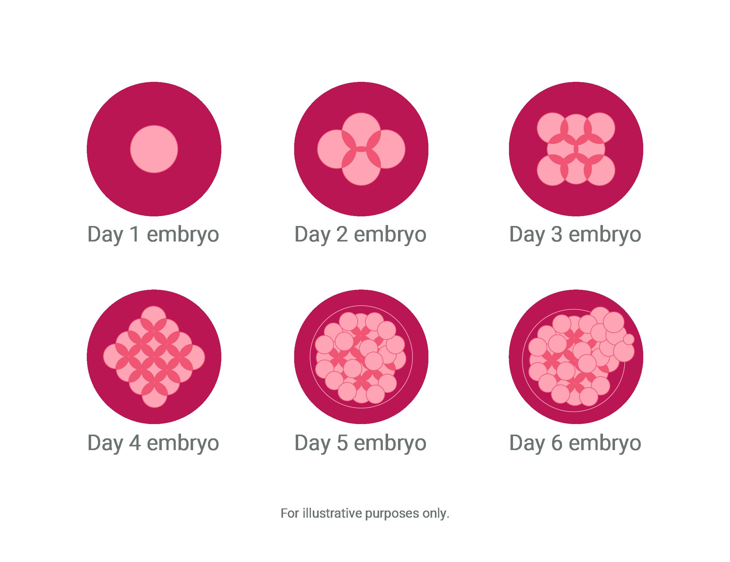 typical embryo development